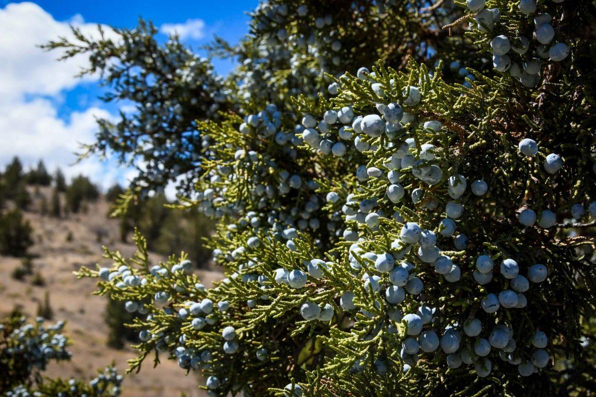 Painted Hills Oregon | Juniper on Leaf Hill Trail